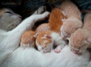 kittens drinken bij de moeder breast crawl